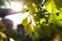 Green grapes in a vineyard Stock Images