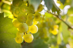 Green grapes in vineyard in harvest time. Close up Royalty Free Stock Photos