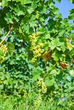Green grapes in a vineyard in Piedmont Italy. Low view Royalty Free Stock Photo