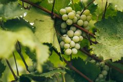 Green grapes in a vineyard at sunset, Crimean vineyards.  stock photo