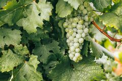 Green grapes in a vineyard at sunset, Crimean vineyards.  royalty free stock photography