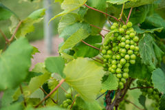 Green Grapes on Vinyard Vines Royalty Free Stock Photos