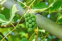 Green grapes (white) fruit hang, Vitis vinifera (grape vine). Green leaves in the sun, close up Royalty Free Stock Images