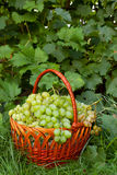 Green grapes in wicker basket Stock Photography