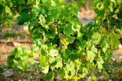 Green grapes for wine on canes Royalty Free Stock Images