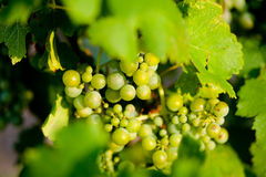 Green grapes for wine on canes Royalty Free Stock Photography