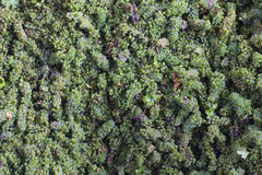 Green grapes in a wine production facility. Horizontal top view of many white grapes ready to be squeezed at a winery Stock Photos