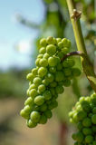 Green grapes Stock Images