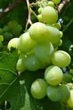 Green grapes. Royalty Free Stock Image