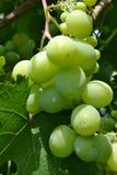 Green grapes. Royalty Free Stock Image
