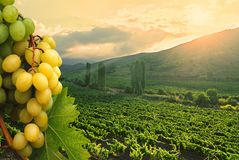 Green grapes and wineyard. Royalty Free Stock Image