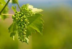 Green grapes Royalty Free Stock Photos