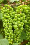 Green grapevine. Juicy grapevines against green foliage Royalty Free Stock Photos