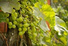 Green grapevine with growing white grape, autumn background. Vineyard harvest season Royalty Free Stock Image