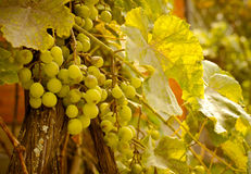 Green grapevine with growing white grape, autumn background. Vineyard harvest season. Royalty Free Stock Images
