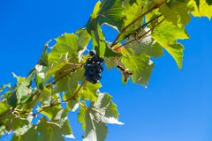 Green grapevine leaves and a bunch of grapes against blue sky Stock Image