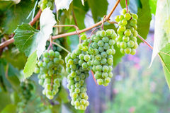 Green grapevine. In summer time royalty free stock photo