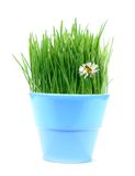 Green gras, daisy and bee. A blue pot with green oat grass, daisy and bee Royalty Free Stock Photos