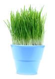 Green gras in a pot. A blue pot with green oat grass isolated on white baclgrond Stock Photos