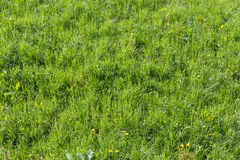Green gras Royalty Free Stock Photography