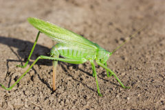 Green grashopper Stock Images