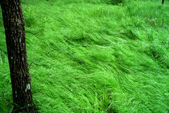 Green grass. Where the green grass grows. Moving waves stock image
