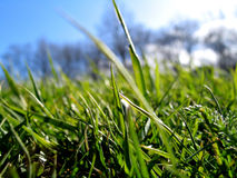 Green Grass. Close up of green grass - blue sky and trees in the background stock images