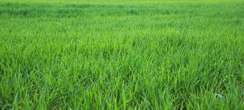 Green grass. Spring time in europe Stock Photography