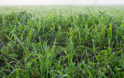 Green grass. In drops of dew Stock Photography