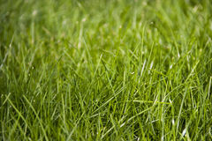 Green grass. On the lawn Stock Photography