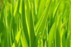 Green grass. Macro photo of green grass in the garden Royalty Free Stock Photos