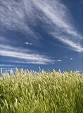 Green Grass. In a sunny day with a perfect blue sky Royalty Free Stock Photography