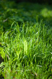 Green grass. Sunny day on green grass Royalty Free Stock Photo