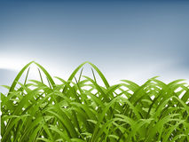 Green Grass. And pure sky background, spring season Royalty Free Stock Photo