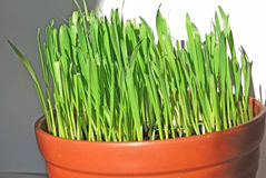 Green grass. Is grow in brown cup Royalty Free Stock Photos