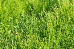Green grass. Macro of summer green grass Royalty Free Stock Images