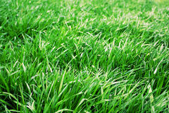Green grass background. Green grass texture on the meadow,Long green grass in garden. Spring background Royalty Free Stock Image