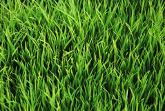 Green grass. Closeup shot on green grass royalty free stock photos