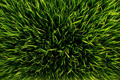 Green grass. Closeup shot on green grass royalty free stock image