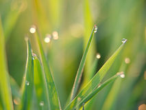Green grass. In a dew royalty free stock photography