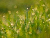 Green grass. In a dew stock image