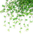 Green grass. On white blackground Royalty Free Stock Images