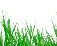 Green grass. Isolated green grass on a white background Royalty Free Stock Images