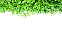 Green grass. Isolate over white Stock Photography