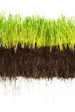 Green grass. Showing roots on white Stock Photography