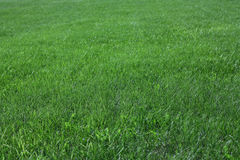 Green grass. Green grass in a garden royalty free stock image