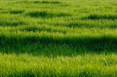 Green grass. Landscape. field of green grass Stock Image