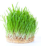 Green grass. Closeup shot on green grass Royalty Free Stock Photo