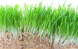Green grass. Closeup shot on green grass Stock Photo