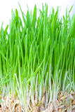 Green grass. Closeup shot on green grass Stock Images